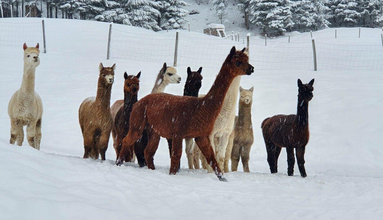 Alpaka-Herde im Lammertal im Winter bei Schnee
