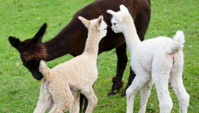 Drei Alpakas auf Wiese im Lammertal