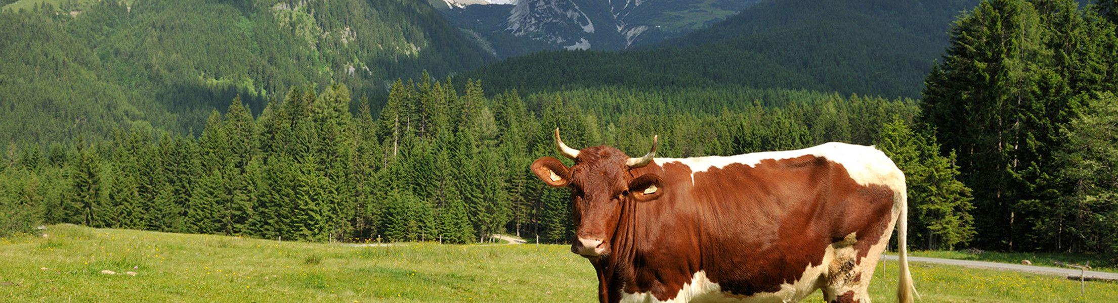 Sommer Wiese im Lammertal mit Kuh