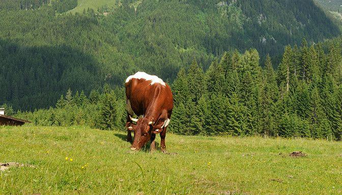 Kuh auf Wiese im Lammertal