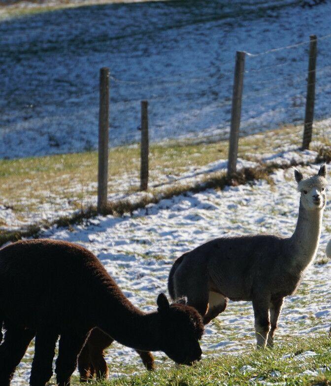 Alpakas im Lammertal im Frühling bei wenig Schnee