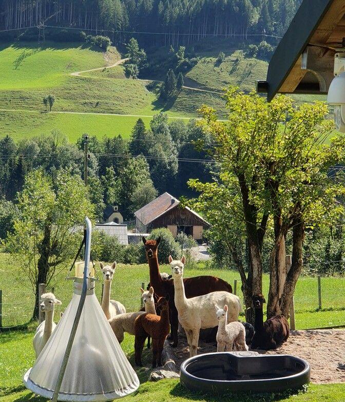 Alpakas im Lammertal auf dem Hof in der Wiese im Sommer